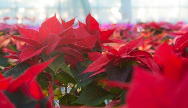 Символ Рождества – молочай: как ухаживать за растением так, чтобы он цвел каждый год?
