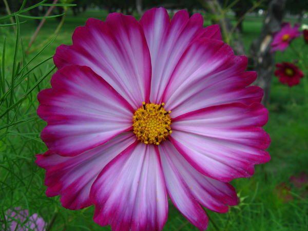 Неприхотливые однолетники - простой способ украсить цветник