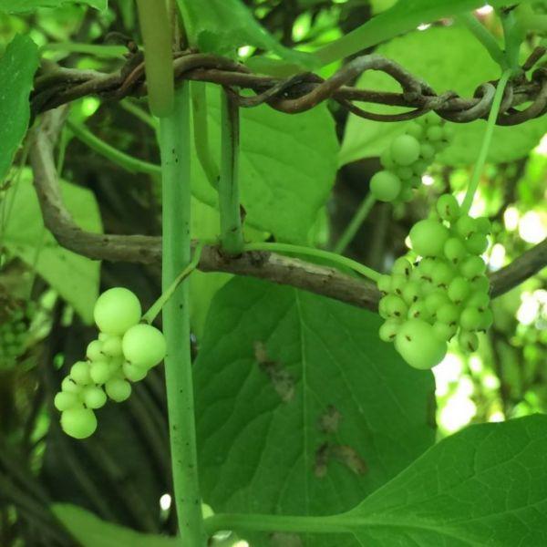 Ягода пяти вкусов — лимонник китайский