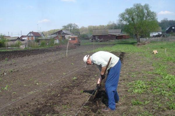 Выращивание картофеля без химикатов