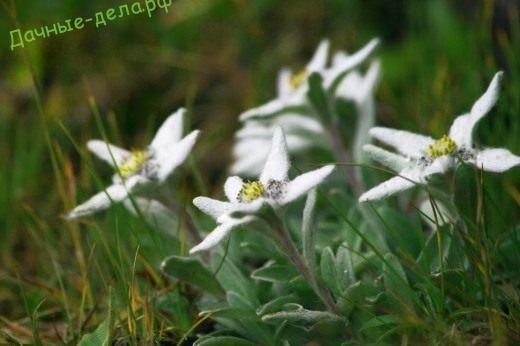 Эдельвейс — благородный белый