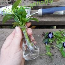 Как выращивать торению из семян?