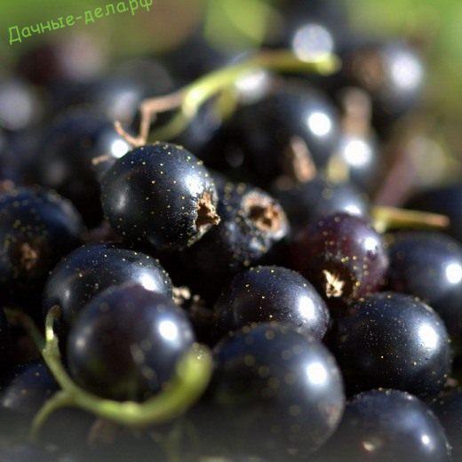 Смородина — витамин с куста!
