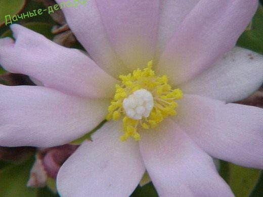 Переския — древний кактус