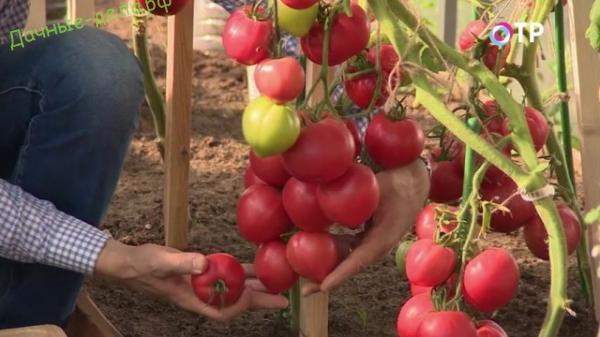 Обзор гибридов томатов агрофирмы «Партнёр»