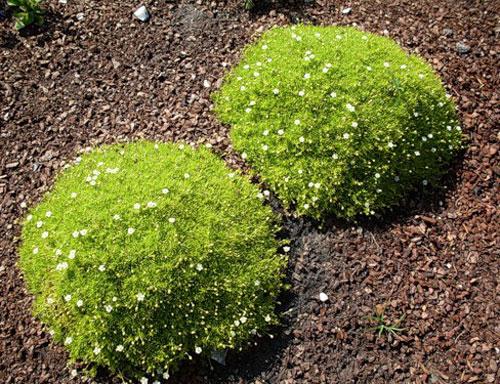 Мшанка - почвопокровное растение для ландшафтного дизайна