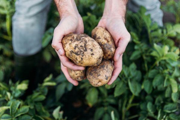 Варю картофель, нарезаю салями, а затем плотно сворачиваю… На 20 минут в духовку!