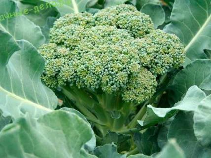 Паржевая брокколи. Описание и выращивание 6
