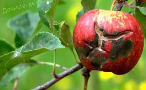 Парша на яблонях: чем обработать 25