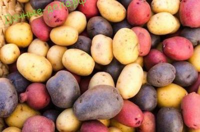 Какие сорта картофеля лучше: отечественные или зарубежные? 7
