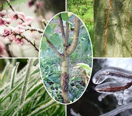 5 опасностей, угрожающих растениям в саду в конце зимы и начале весны 7