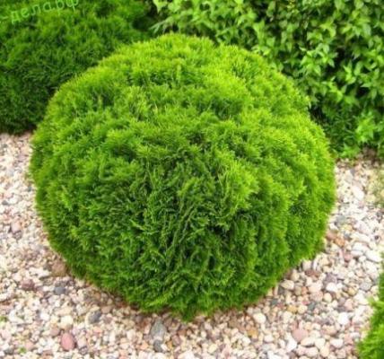 Туя шаровидная: посадка и уход в саду 1