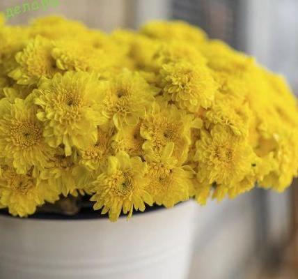 Хризантема в горшке уход в домашних условиях 4