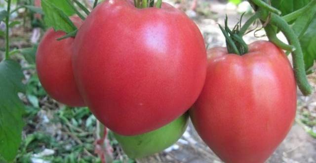 Томат тяжеловес сибири характеристика и описание сорта урожайность и фото