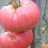 Томат Демидов: отзывы, фото, урожайность