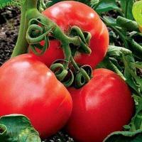 Описание сорта томата Стреза и его характеристики