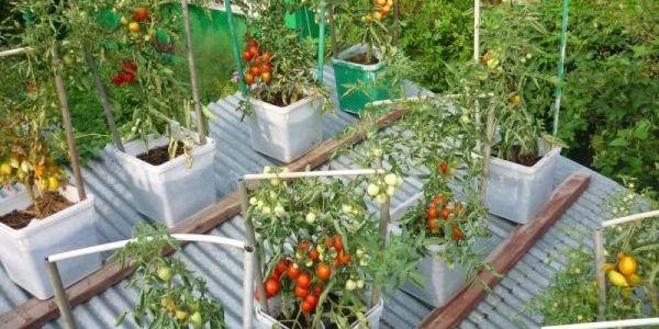 Как вырастить огород.. на крыше 19