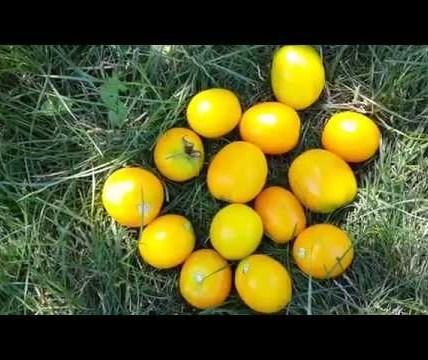 Описание сорта томата Золотой король, особенности выращивания и ухода 6