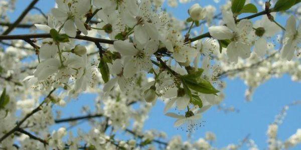 Уход за яблонями весной 5