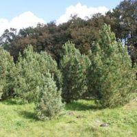 Кедр — дерево для детей и внуков