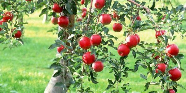 Обхитрить яблоню. Как заставить дерево плодоносить? 6