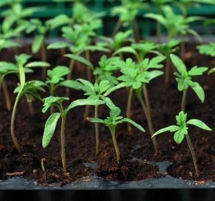 Описание сорта томата Дорогой гость, рекомендации по выращиванию и уходу 3