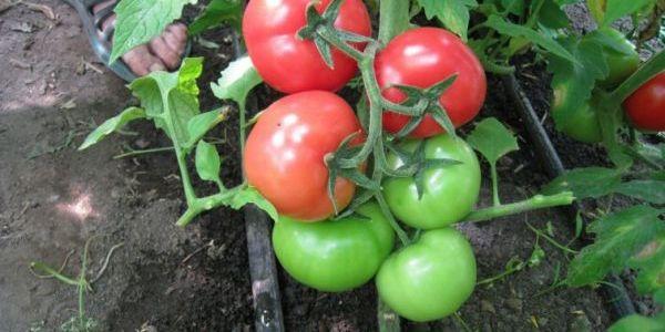 На сухарях мои помидоры растут как сумасшедшие 12