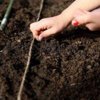 Сроки посева основных огородных культур в открытый грунт