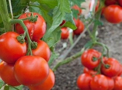 С чем и после чего сажать томаты 4