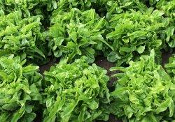 У какого салата листья нежнее? 15