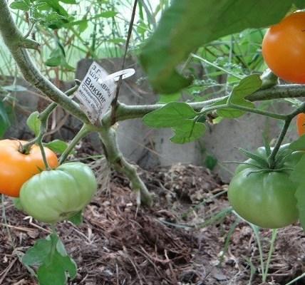 Описание сорта томата Викинг, особенности выращивание и ухода 3
