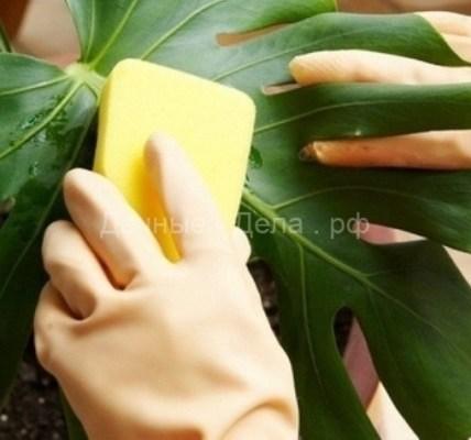 Как правильно очищать листья цветов от пыли в домашних условиях 5