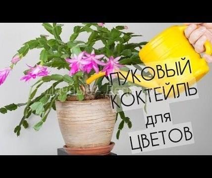 Как сделать лечебный луковый коктейль для цветов. 9