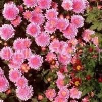 Как выращивать хризантемы в саду