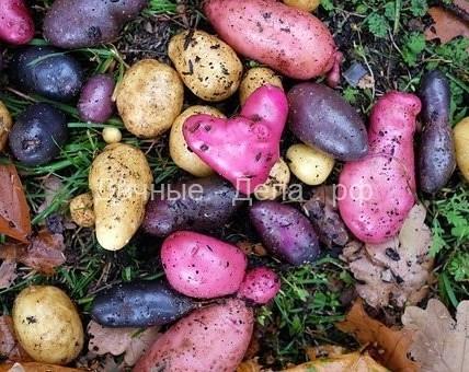 5 главных ошибок при хранении картофеля 3