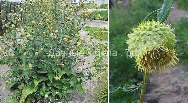 Атаман-трава – гигант в моем саду
