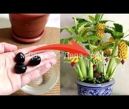 Реально выращиваю бананы дома - видеоблог Елены Матвеевой 4