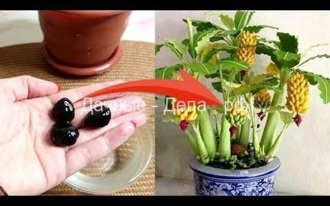 Реально выращиваю бананы дома - видеоблог Елены Матвеевой 7
