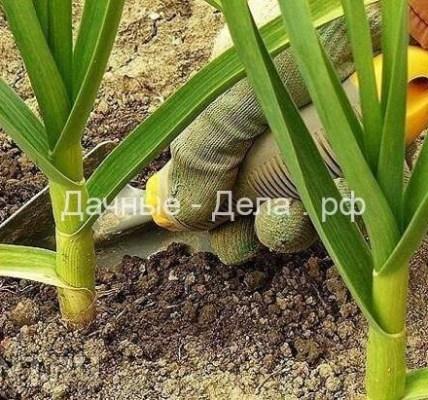 Советы по выращиванию чеснока. 3
