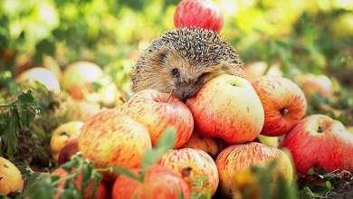 яблоки и ёжик