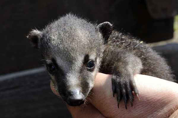 Кто такая носуха – Носуха: фото и описание коати — Экзотариум