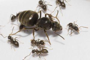 Как избавиться от муравьев квартире и доме?