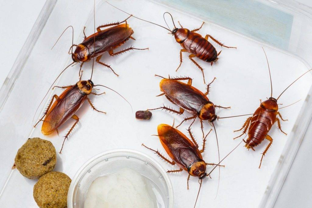 Тараканы африканские американские