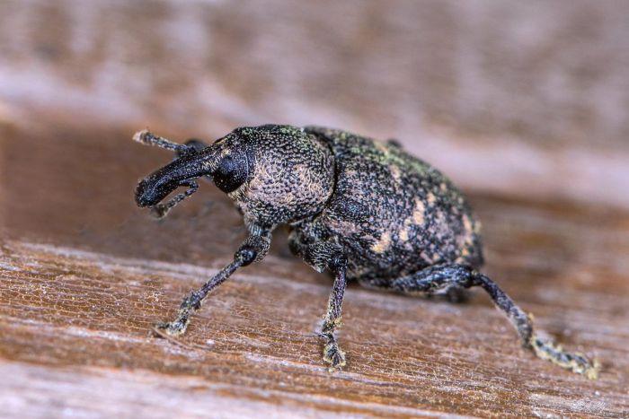 Жуки долгоносики фото. Виды жуков долгоносиков и вред