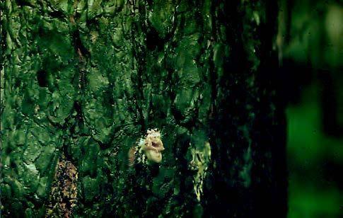 Жук лубоед, большой и малый сосновый жук лубоед. Фото