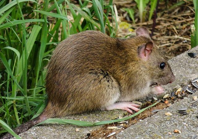 Служба уничтожения крыс в квартире в Москве