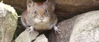 Как избавиться от мышей на даче