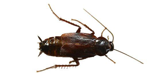 Эффективно травить тараканов в квартире, вызов на дом, цены