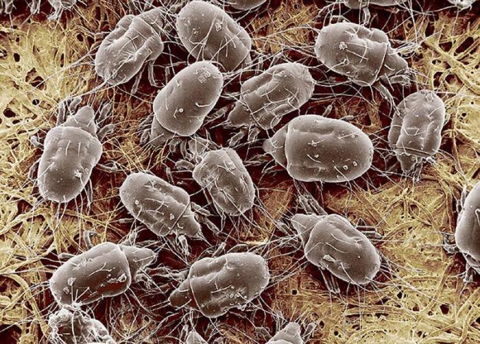 Дезинфекция от клещей сапрофитов. Пылевые клещи