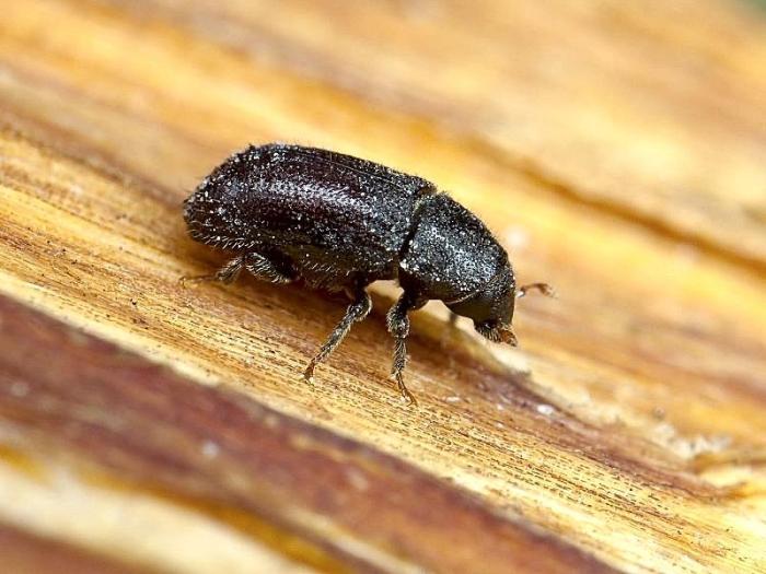 Как избавиться от жуков короедов в деревянной бане?